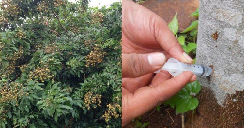 (VIDEO) Pekebun Indonesia Suntik Pokok Untuk Hasilkan Buah Tanpa Musim