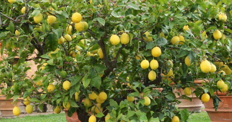 Cara Pemangkasan Untuk Galakkan Lemon Berbuah Lebat