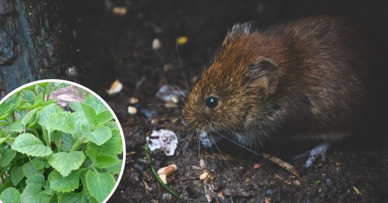 Cara Paling Mudah Dan Mujarab Halau Tikus Dengan Daun Bangun-Bangun