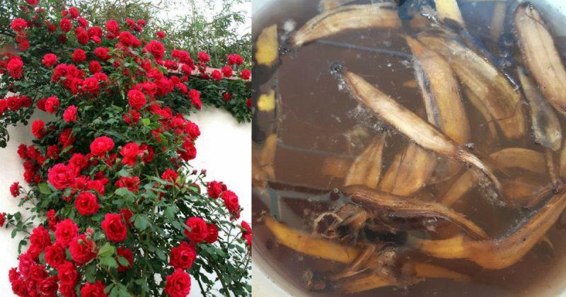 Teh Kulit Pisang Terapi Untuk Menggalakkan Ros Berbunga Lebat