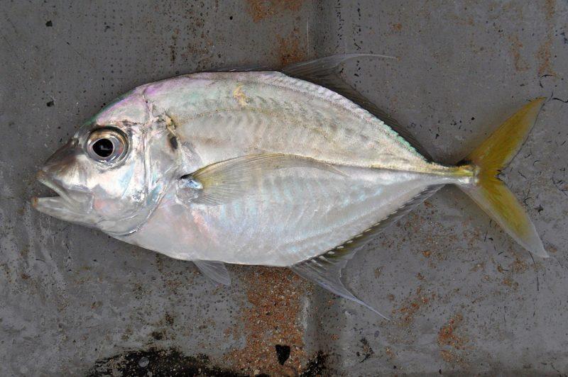Info Spesies : Kenali Keluarga Ikan Cermin - Umpan