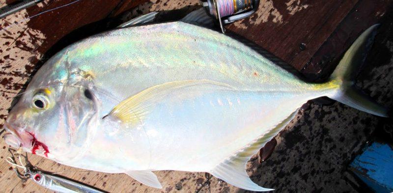 Info Spesies - Kenali Ikan Cermin - Umpan