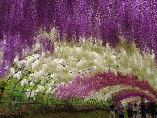 Menangis Lihat Keindahan Bunga Wisteria di Jepun