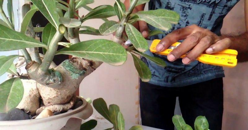 15 Tip Untuk Pastikan Adenium Berbunga Lebat