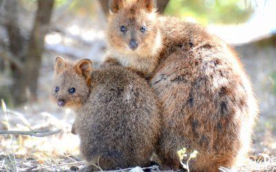 Mengintai Dua Pulau Popular Di Perth